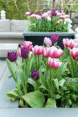 Tulips on pot