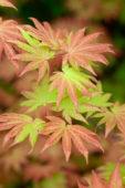Acer shirasawanum Autumn Moon
