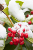 Snow covered Skimmia