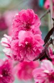 Prunus persica Crimson Cascade