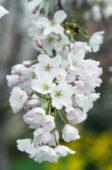 Prunus x yedoensis Akebono