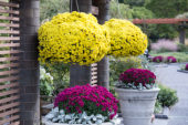 Chrysanthemum on pot