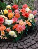 Begonia pastel mixed