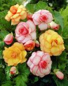 Begonia Picotee mixed