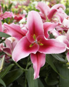 Lilium Pink Magic