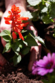 Salvia red