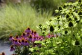 Echinacea border