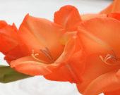Gladiolus Manteca