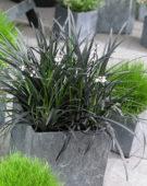 Ophiopogon planiscapus Niger