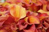 Zantedeschia Orange Beauty