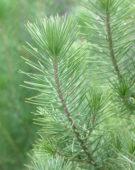 Pinus pinea Silver Crest