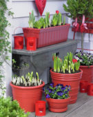 Spring bulbs on pots