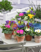 Spring bulbs and Primulas