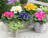Primula mixed