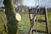 Pruning pear tree