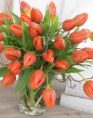 Tulipa Prinses Catharina-Amalia