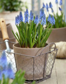 Muscari Big Smile®