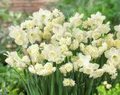 Narcissus Alaska, Erlicheer