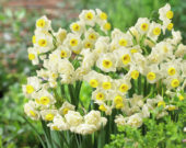 Narcissus Avalanche, Erlicheer
