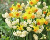 Narcissus Bittern, Erlicheer