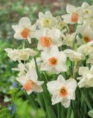Narcissus Alaska, Cha-Cha