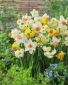 Narcissus mixed