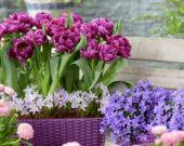 Tulipa Color Burst