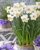 Narcissus Louise de Coligny