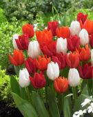 Tulipa triumph mix