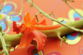 Cattleya