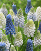 Muscari aucheri Magic ® mix