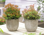 Pieris japonica Little Heath, Little Heath Green
