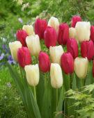 Tulipa Beaumes de Venise, Bollene