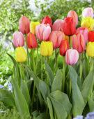 Tulipa darwinhybride mix