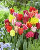 Tulipa gefranjerde mix