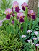 Iris germanica Wine and Roses