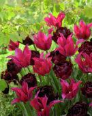 Tulipa Dolls Minuet, Uncle Tom