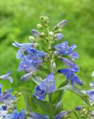 Penstemon barbatus Pinacolada Blue