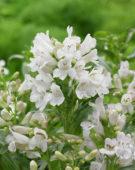 Penstemon barbatus Pinacolada White