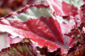 Begonia Magic Colours