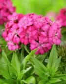 Dianthus barbatus roze