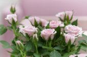 Rosa Peach Cordana Baby Jewel