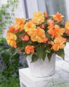 Begonia 347-109-016