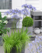 Agapanthus Dr. Brouwer