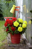 Begonia fimbriata scharlaken, geel