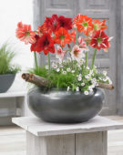 Hippeastrum mixed