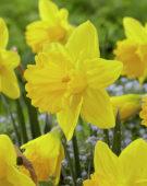 Narcissus Marieke