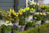 Narcissus collection