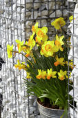 Narcissus on pot