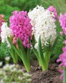 Hyacinthus mixed